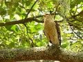 Milvago chimachima (Pigua - Garrapatero caucano) - Flickr - Alejandro Bayer (3).jpg