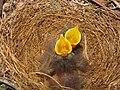 Mimus polyglottos two days old 03.jpg