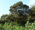 Mimusops caffra, op kusduin, Umhlanga-strandmeer NR.jpg