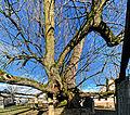 Mindestens 700 Jahre alt, die Dorflinde in Hollenbach. 1.jpg