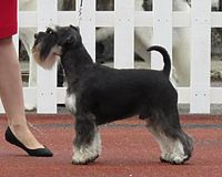 Miniature Schnauzer black and silver 1.JPG