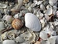 Mollusc shells on marine beach (Cayo Costa Island, Florida, USA) 11 (23959768289).jpg