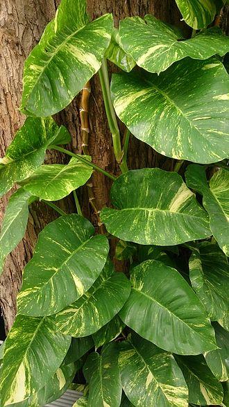 Epipremnum aureum - E. aureum with larger leaves