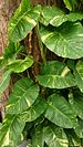 Golden Pothos - Photo (c) Mokkie, some rights reserved (CC BY-SA)