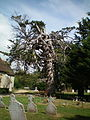 Monterey Cypress Birdham church.JPG