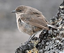 Moorland Chat at the Kilimanjaro moorland cropped.JPG