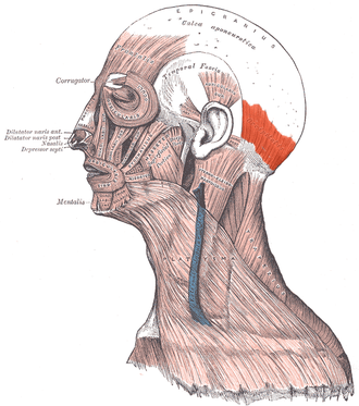 Occipitalis muscle - Muscles of the face and neck (occipitalis muscle visible at center right in red)