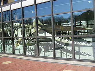 Museon - Whale skeleton in lobby viewed from outside.