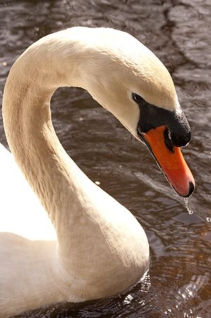 English: Mute swan, in Vancouver.
