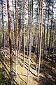 Muuratsalo forest.jpg