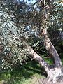 Myrtales - Eucalyptus dalrympleana 11.jpg