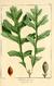 NAS-003f Quercus macrocarpa.png