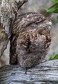 NQld Frogmouth-01 (11337227146).jpg