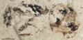 Napakimyrma paskapooensis.png