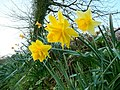 Narcissi at dawn 2 - geograph.org.uk - 1237685.jpg