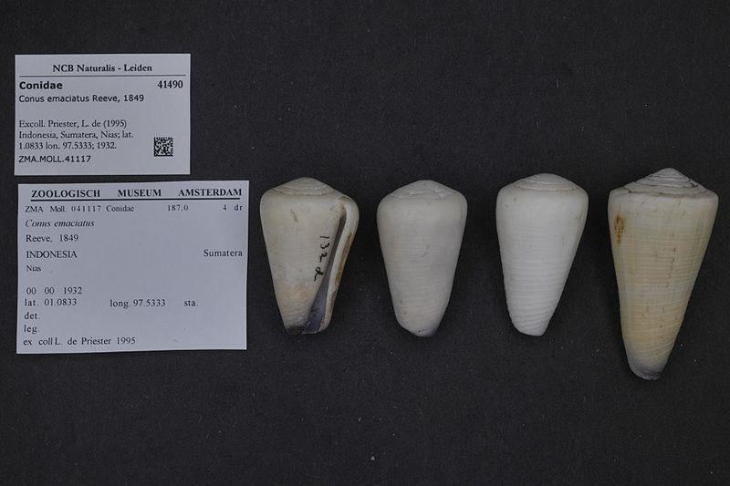 File:Naturalis Biodiversity Center - ZMA.MOLL.41117 - Conus emaciatus Reeve, 1849 - Conidae - Mollusc shell.jpeg