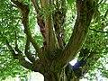 Naturdenkmal Hainbuche Döhren Melle -Unterm Baum- Datei 4.jpg