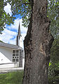 Naturdenkmal ND 9 8-Ahornbäume neben der Kirche in Pertisau 07.JPG