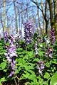 Naturschutzgebiet Ith - Lerchensporn (12).jpg