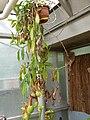 Nepenthes spathulata (4), exhibition in Botanical garden Brno.JPG