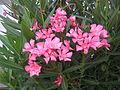 Nerium oleander 2734.JPG