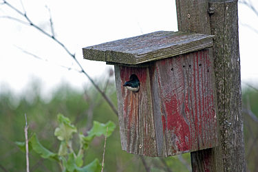 Nesting Tree Swallow in Herkimer County, New York.jpg