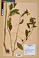 Neuchâtel Herbarium - Impatiens noli-tangere - NEU000019931.jpg