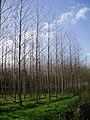 New woodland - geograph.org.uk - 286096.jpg