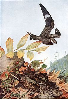 Common Nighthawk, Chordeiles minor, and Whip-poor-will, Caprimulgus vociferus