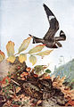 Nightjar in flight - AAP065A.jpg