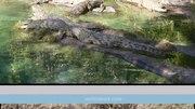 File:Nile crocodile - by Wiz Science.webm