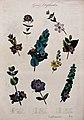 Nine flowering plants, all species of the genus Diplusodon. Wellcome V0044615.jpg