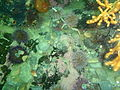 Nippled sea fans and sea urchins at Lorry Bay PB092352.JPG