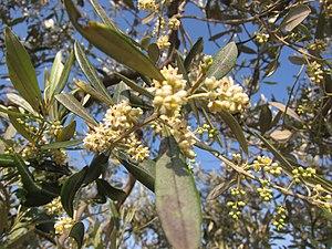 Nocellara del Belice - Nocellara del Belice olive in flower