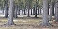 Norway Spruce (Picea abies) - Cambridge, Ontario.jpg