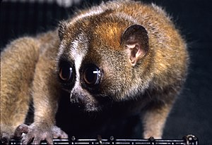 Slow loris - The eyes of slow lorises are large and have a reflective layer, called the tapetum lucidum, to help them see better at night.