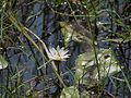 Nymphaea pubescens (6927952403).jpg