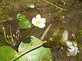 Nymphoides aquatica.JPG