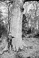 Oak.Q.robur.jpg