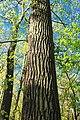 Oak Canopy (1) (8708457520).jpg