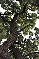 Oak tree (6214561820).jpg