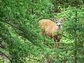 Oct 7, 2008. Blacktail Buck (e4d57724e15844c68108e427c768ea05).JPG