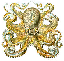 Pieuvre, animal totem 1 dans PIEUVRE 220px-Octopusvulgaris