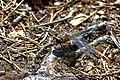 Odonata Gaengene.jpg