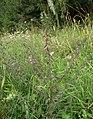 Odontites vulgaris 060805a.jpg