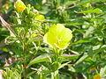 Oenothera speciosa1.jpg