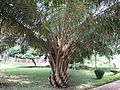 Oil palm tree in RDA, Bogra 02.jpg