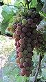Old Vineyard Visit - panoramio (3).jpg