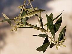 Olea europaea flower buds.jpg