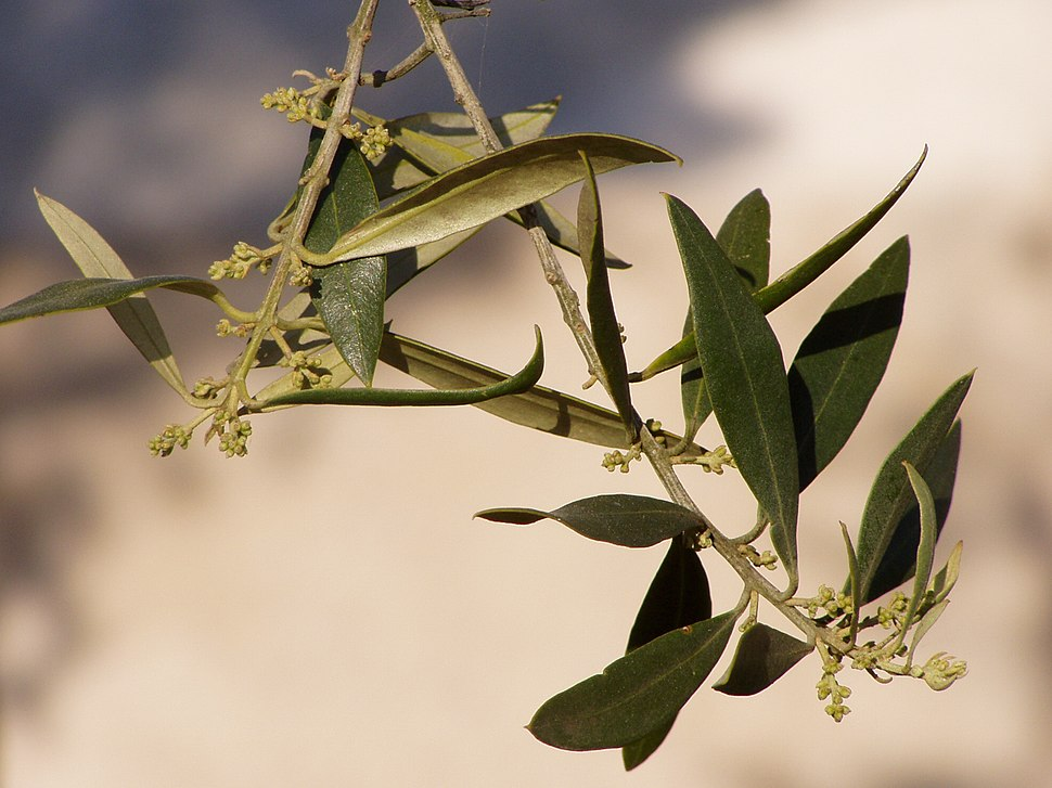 Olea europaea flower buds